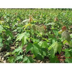 美国红枫、潍坊美国红枫秋火焰基地、绿湖苗木图片