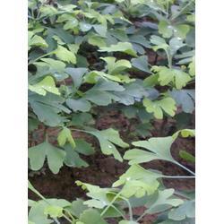 银杏树|岱山杏树|瑞宝银杏(优质商家)图片