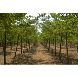 银杏苗树,金华市银杏苗,瑞宝银杏图片