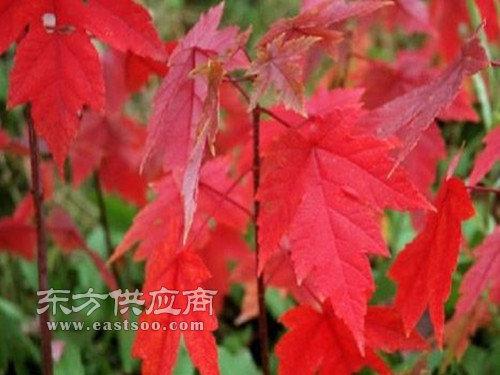 德州红点红枫|泰安金枫绿化|红点红枫销售基地图片