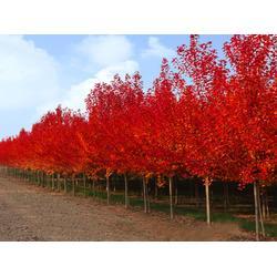 红点红枫怎么修剪 金枫绿化 红点红枫图片