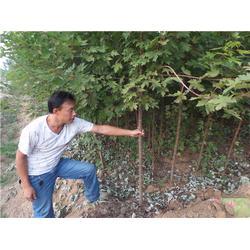 美国红枫、金枫绿化、美国红枫怎么栽培