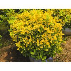 金冠黄杨,金枫绿化,金冠黄杨前景图片