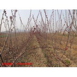 泰安金枫绿化园林(图),海棠树基地,陕西海棠树图片