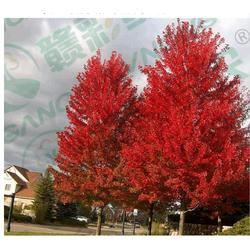 美国红枫市场前景|金枫绿化|美国红枫图片