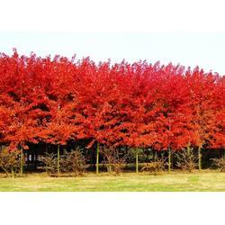 美国红枫哪里有卖、美国红枫、金枫绿化(查看)图片