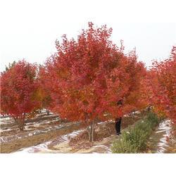 金枫绿化(图)-丛生红点红枫工程树-丛生红点红枫