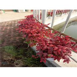 火焰南天竹种植专家-火焰南天竹-金枫绿化(查看)图片