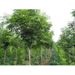 8公分北栾,亚太园林苗圃,上海北栾图片
