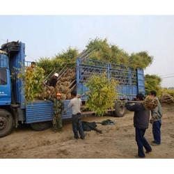廊坊国槐树苗,9公分国槐苗木基地,亚太园林(优质商家)图片