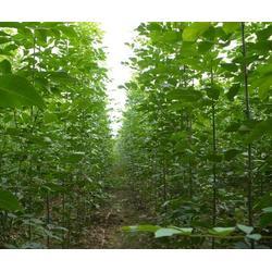 13公分白蜡、亚太园林(在线咨询)、上海白蜡图片