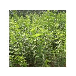 亚太园林(图) 丝棉木的种植 大连丝棉木图片