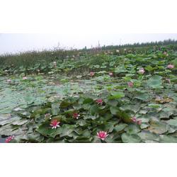 玉双水生植物(图)_园林水景 水葱_水葱图片