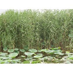 玉双水生植物(图)_芦苇的用途_芦苇图片