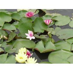 安新荷花,荷花,玉双水生植物图片