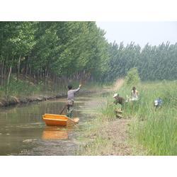 水葱种子|玉双水生植物(已认证)|水葱图片