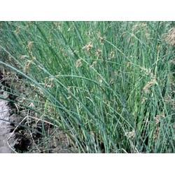 玉双水生植物 芦苇荡-芦苇图片