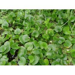 过冬水生植物、玉双水生植物、水生植物图片