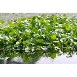 玉双水生植物(图),水葱,水葱图片