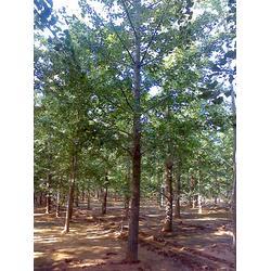绿化苗木-2014年绿化苗木价格表-柏景银杏图片