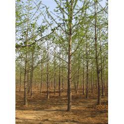 嫁接树、20公分银杏嫁接树价格、柏景银杏图片