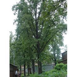 柏景银杏(图),18公分银杏实生树,银杏实生树图片