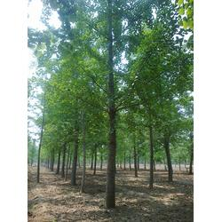 18cm银杏树,江苏银杏树,柏景银杏图片