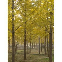 柏景银杏(图)|江苏银杏嫁接树|西安银杏嫁接树图片