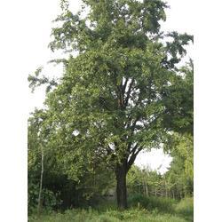 20公分银杏树|20公分银杏树价格|柏景银杏图片