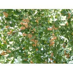 10公分银杏嫁接树|柏景银杏(在线咨询)|银杏嫁接树图片