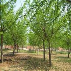 绿化苗木采购,柏景银杏(在线咨询),绿化苗木图片