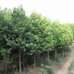 苗木工程网址、苗木工程、如意林绿化工程图片
