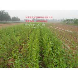 红梅小苗_红梅_红梅的栽培方法图片