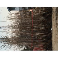 3米高银杏树如何计算