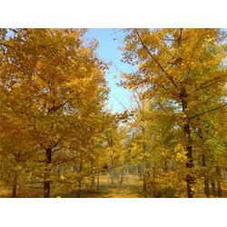 最准确的银杏树报价,最准确的银杏树报价,森林木银杏图片