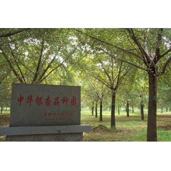 18公分实生银杏树-银杏树-森林木银杏基地(查看)图片