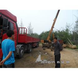山东32公分银杏树服务放心可靠(多图)图片