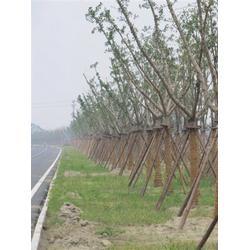 绿化树种-银杏树行情绿化-森林木银杏苗圃场(查看)图片