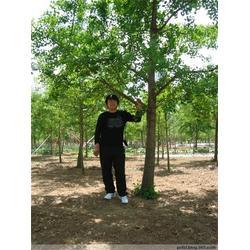 银杏树基地,森林木银杏(在线咨询),低银杏树银杏树图片
