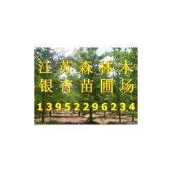 19公分银杏树_19公分银杏树_森林木银杏图片