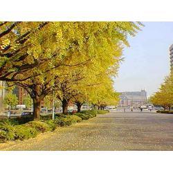 森林木 30公分银杏树的-30公分银杏图片