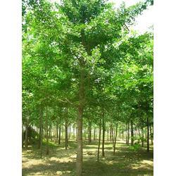 森林木银杏、银杏树贴吧、白果银杏树图片