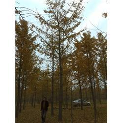 森林木银杏 出售江苏银杏树-江苏银杏树图片