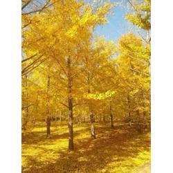 银杏-森林木银杏-10银杏树图片