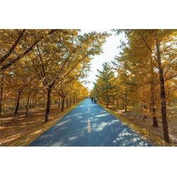 二十公分银杏树-森林木银杏-银杏树图片