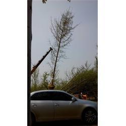 山东银杏树、2014山东银杏树表、张辉银杏图片