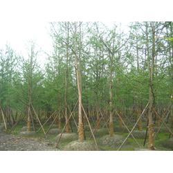 北京银杏树、老银杏树、张辉银杏图片