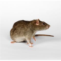 食堂灭老鼠|无锡灭老鼠|苏州安新(查看)图片