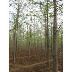 银杏实生树,18公分银杏实生树,老兵银杏图片