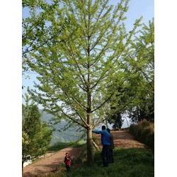 8公分银杏树 老兵银杏(在线咨询) 上海银杏树图片